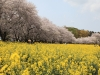 봄의 도래 전하는 벚꽃과 유채꽃의 환상 콜라보레이션