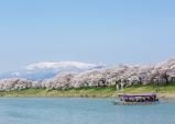미야기 찾아온 봄의 전령, 여기가 도호쿠 벚꽃 성지