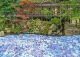 일본 제일의 수국 명소, 이바라키로 떠나는 6월의 여행